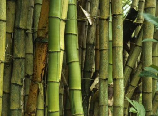 Bambù gigante, ecosostenibile e utile per realizzare migliaia di prodotti