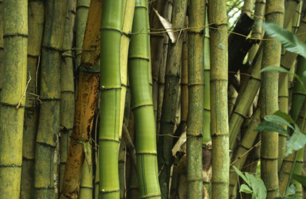 canne di bambù gigante