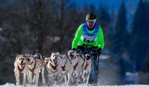 Sleddog, attività invernale foto pixabay