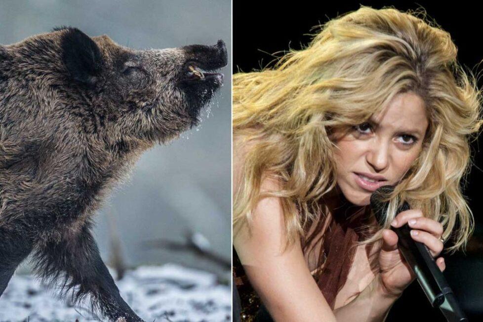 Shakira è stata attaccata da cinghiali